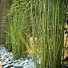 prele du japon en pot horsetail reed i finally discovered the name of this