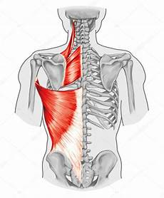 douleur sternum dos rhomboid minor and rhomboid major levator scapulae and
