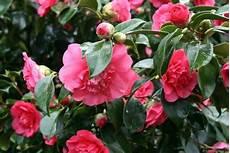 fiori perenni da vaso piante sempreverdi da vaso piante da terrazzo piante