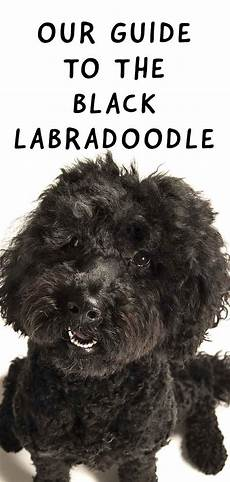 black labradoodle haircuts black labradoodle fun facts about the dark coated curly cross