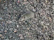 小家鼠 維基百科 自由的百科全書