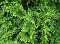 thuja brabant pflanzen westerse levensboom thuja occidentalis brabant kopen