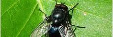 chasser les mouches chasser les mouches 10 astuces naturelles