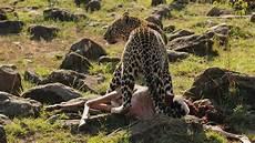 Foto Foto Singa Macan Harimau Cheetah Di Alam Liar
