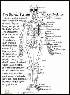 human skeletal system skeletal system worksheet science
