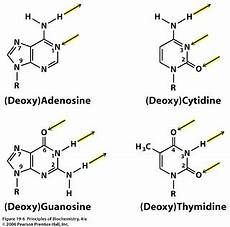sandwalk tautomers of adenine cytosine guanine and thymine
