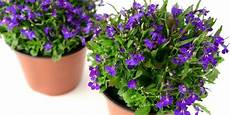 piante fiorite da terrazzo le piante fiorite per il balcone all ombra cose di casa