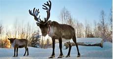 Real Reindeer Wallpaper