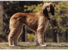 Autumn Afghan hound photo and wallpaper. Beautiful Autumn