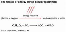 during cellular respiration energy is stored in the form of cellular respiration release of energy during cellular respiration kids encyclopedia