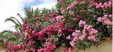 oleander ableger ziehen oft oleander vermehren qj43 casaramonaacademy
