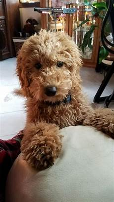 goldendoodle haircut my favorite dog doodle and 17doodle haircuts goldendoodle grooming dog haircuts doodle dog