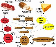 Diagram For Food That Are Carbohydrate by April Seven What You Should About Metabolism