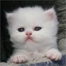 foto gatti persiani cuccioli allevamento cuccioli gatto persiano shorthair