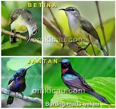Perbedaan Burung Kolibri Jantan Dan Betina Burung Kicau