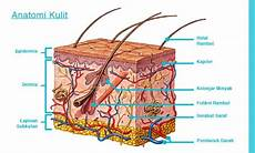 Struktur Kulit Pengertian Anatomi Gambar Dan Fungsinya