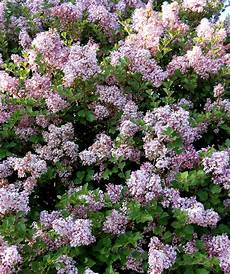 lilac tree buy korean lilac tree form standard at