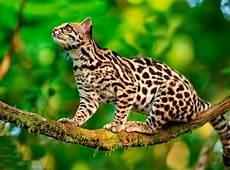 animal en g 30218 tigrillo leopardus tigrinus animales en peligro de extinci 243 n