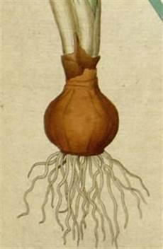 blumenzwiebeln tulpen und narzissen wie tief sollte