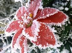 frostiger weihnachtsstern foto bild pflanzen pilze