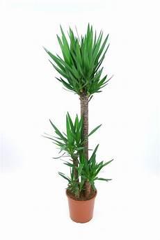 plante d intérieur haute plante d int 233 rieur laquelle choisir quand on n a pas la