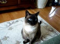 ragdoll mix siamese ragdoll seal point mix a ragamese