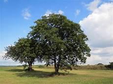 walnussbaum infos zum wachstum pro jahr erster ertrag