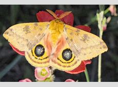 brown butterfly with eyespots