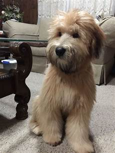soft coated wheaten terrier haircut dog wheaten soft coated wheaten terrier info temperament puppies pictures