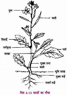 Structure Of A Mustard Plant With Diagram Botany