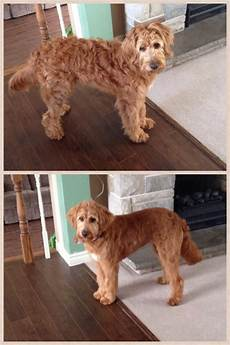 images puppy cut for a goldendoodle pin on cali