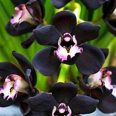 15 Gambar Bunga Anggrek Hitam Paling Langka