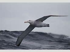 Race albatrossen door klimaatverandering