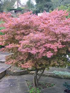 Planting A Japanese Maple Tree Tips On Growing And Caring