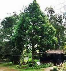 arbol del estado tachira 1000 images about nuestros arboles en venezuela on pinterest search google and tamarindo