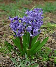 giacinto fiore giacinto hyacinthus
