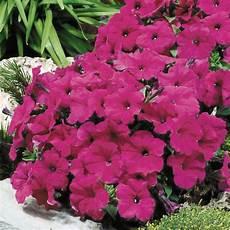 petunien samen kaufen samen saatgut petunie purple velvet f1 petunia hybrida