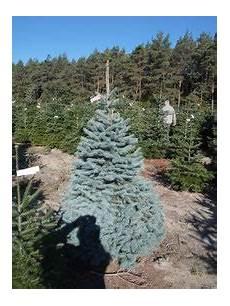 herkunft unserer weihnachtsb 228 ume wunschweihnachtsbaums