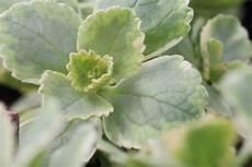 Verpiss Dich Pflanze Plectranthus Caninus Pflege Der