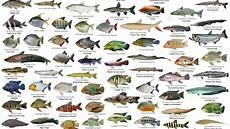17 Tren Gambar Ikan Hias Beserta Nama