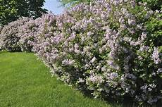 lilac tree lilac tree vs lilac bush difference between lilac trees