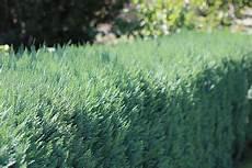 thuja hecke pflanzen abstand pflege und schneiden