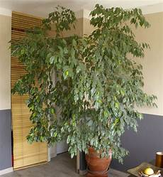 Ficus Pas Cher