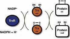 the reduced form of thioredoxin catalyzes reduction of disulfide bonds download scientific