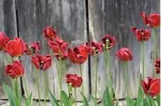 verbl 252 hte tulpen 187 welche pflege folgt nach der bl 252 te