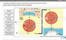 gas transport diagram solved the diagram below depicts the transport of carbon chegg
