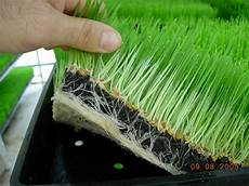 how to grow wheatgrass self sufficient living pinterest