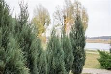 Thuja Smaragd Pflegen 187 Gie 223 En D 252 Ngen Schneiden Etc