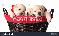 three yellow lab puppies in a merry christmas basket 42638869