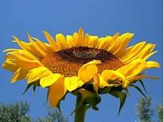 significato girasole nel linguaggio dei fiori i like it il linguaggio dei fiori
